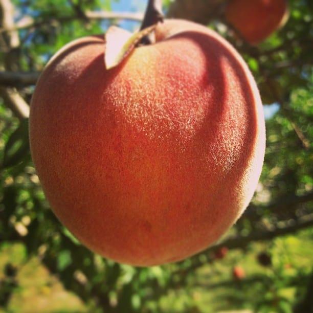 peaches-kings-farm