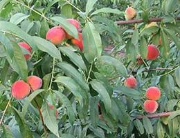 peaches_260sq