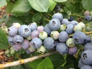 """""""Why do the berries look cloudy?  The waxy, silvery-white substance on the surface of blueberries is called the """"bloom"""" and acts as a barrier against insects and bacteria and helps to seal in the fruit's moisture.The bloom is also a sign of freshness, since it fades with time and handling.""""  (http://news.consumerreports.org/health/2010/05/pesticides-on-fruit-is-the-cloudy-coating-on-blueberries-unsafe.html)"""