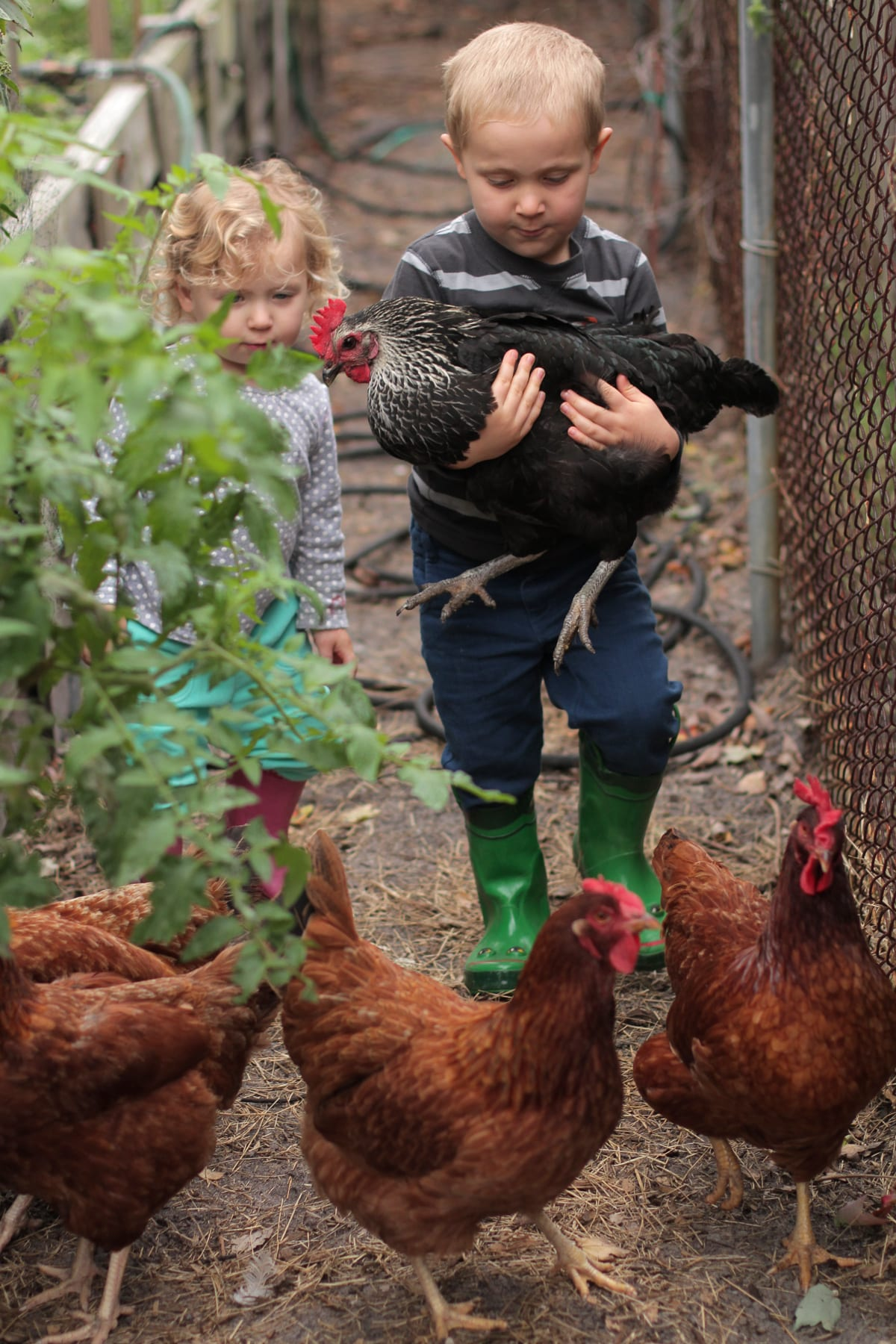 Five Reasons to Not Keep Chickens - Live Simply
